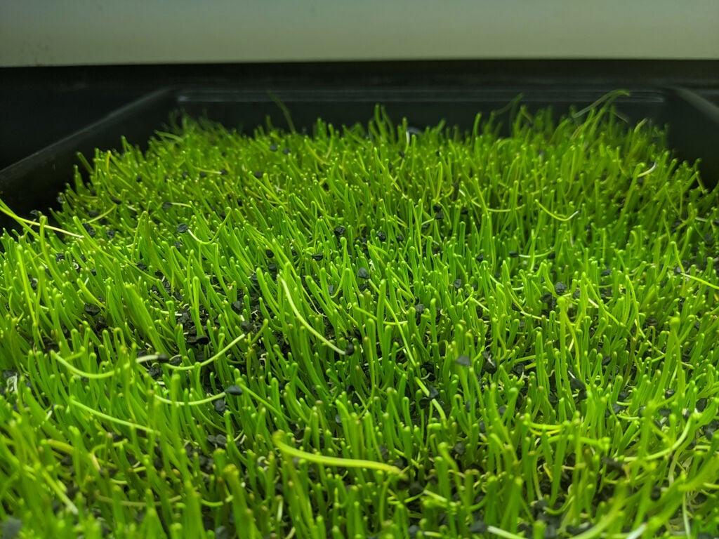 Geo Greens microgreens