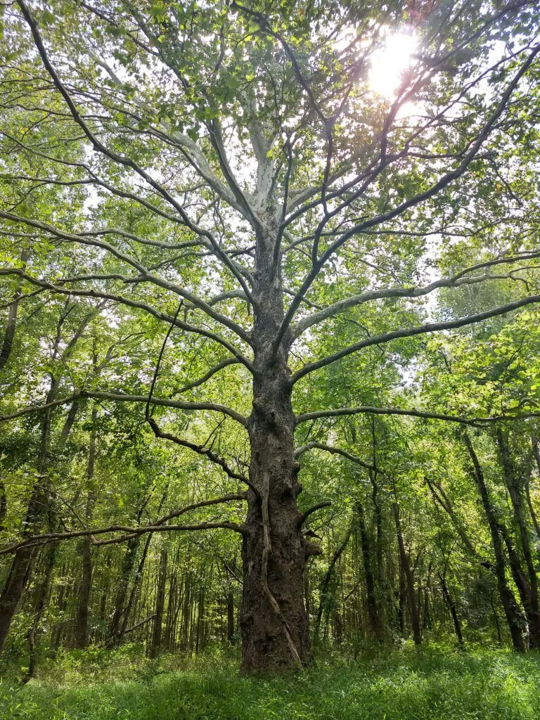 1-A monumental tree in Tatamy's Swamp off of Clarksville Road, named for West Windsor's most historically significant indigenous resident.
