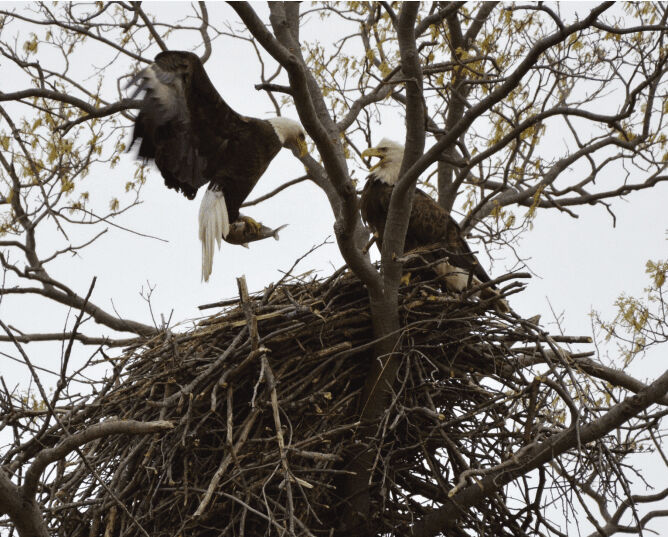 Eagles seen in Mercer County's online Eyes on Eagles project