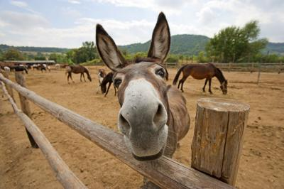 Donkey 40 Acres mule ranch
