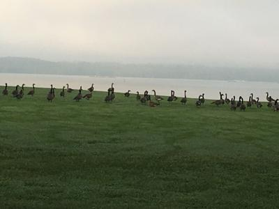 CANADIAN GEESE GOOSE