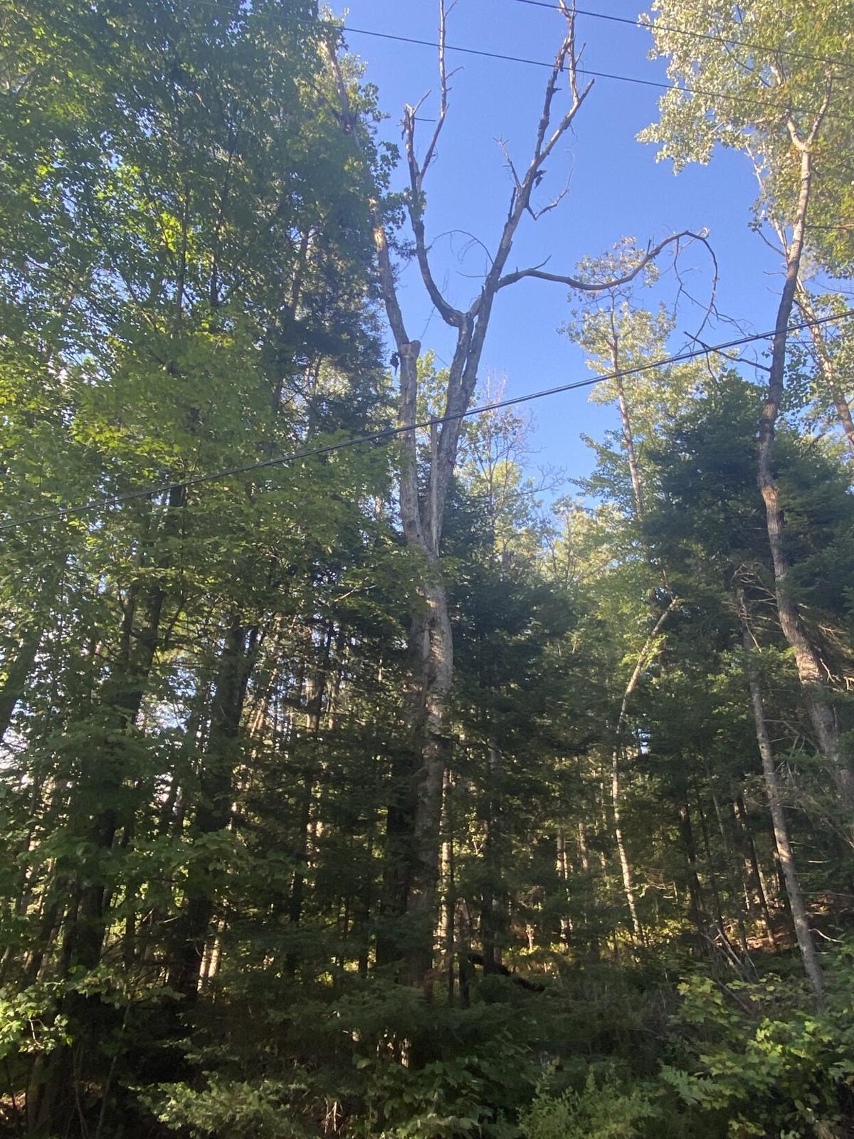 POWER LINES NEAR DEAD TREE