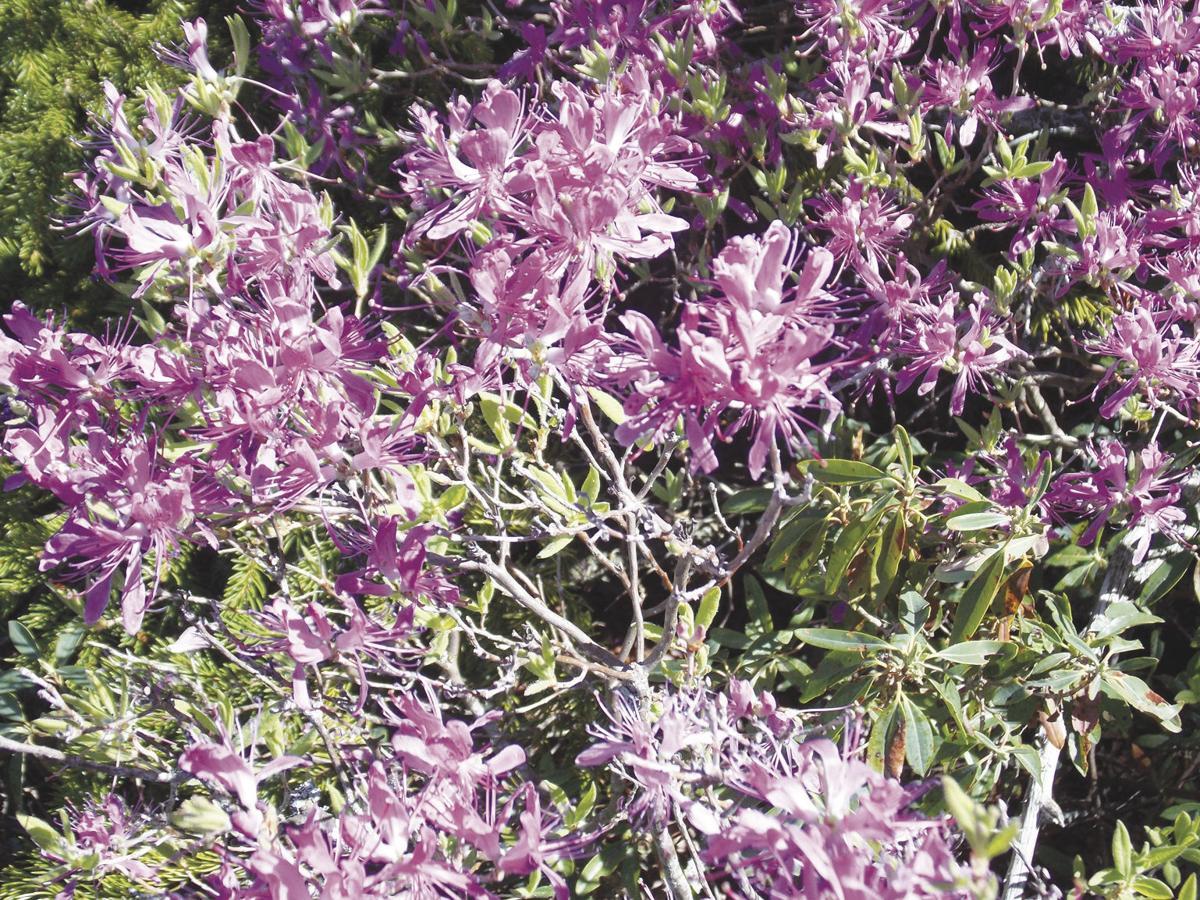 6-8-19 Hiking-Blooming rhodora