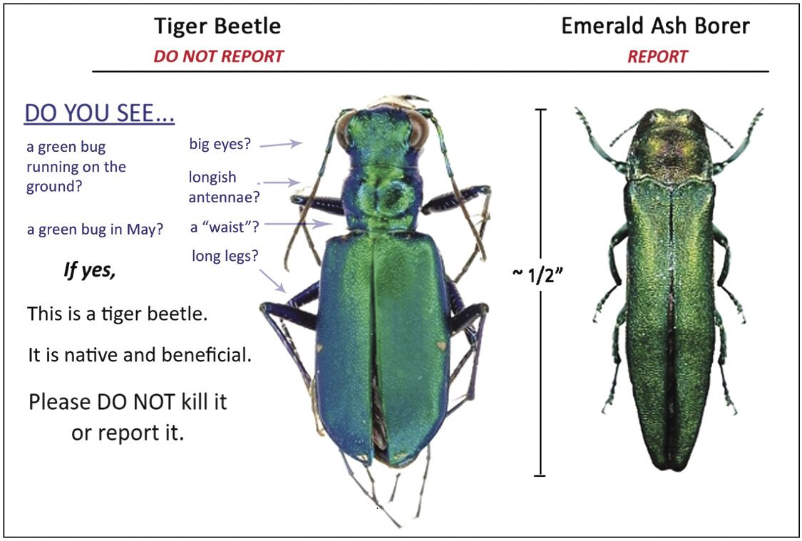 EAB v tiger beetle