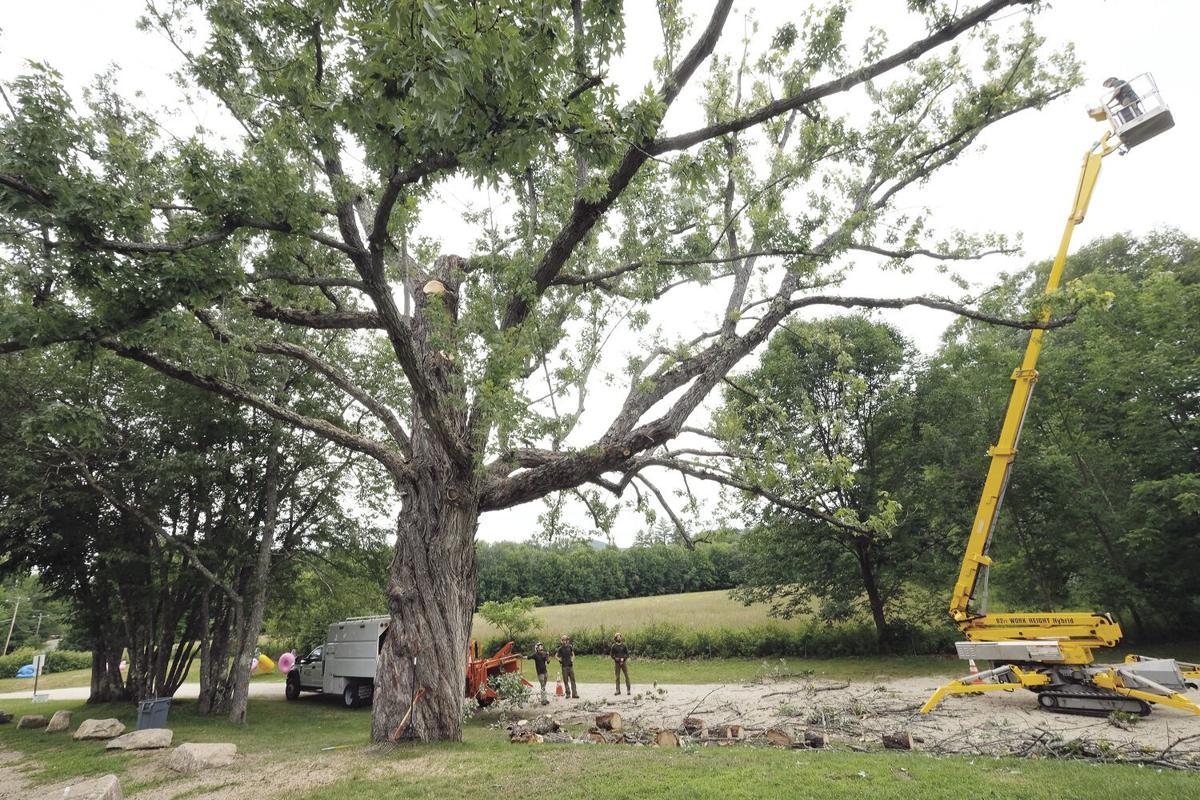 7-22-20 Giant tree pruning
