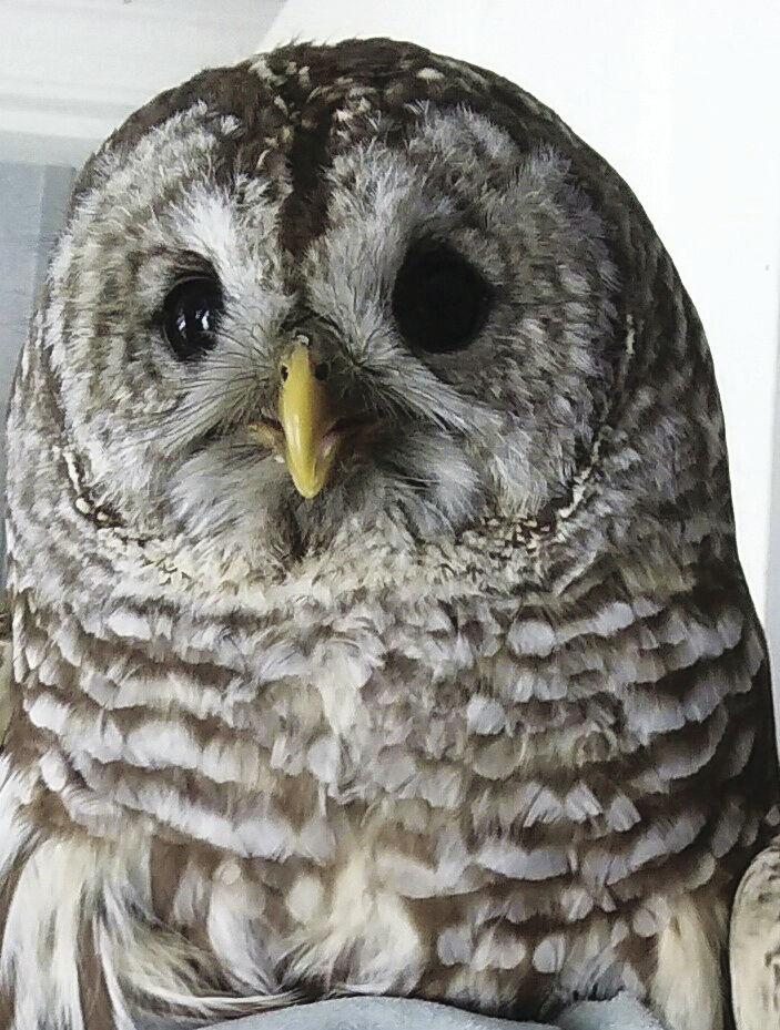 6-18-18-ECCW - barred owl hit by car.jpg