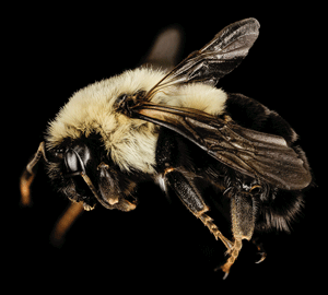 UNH research supports Granite State's native bees