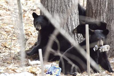 Bears in North Conway