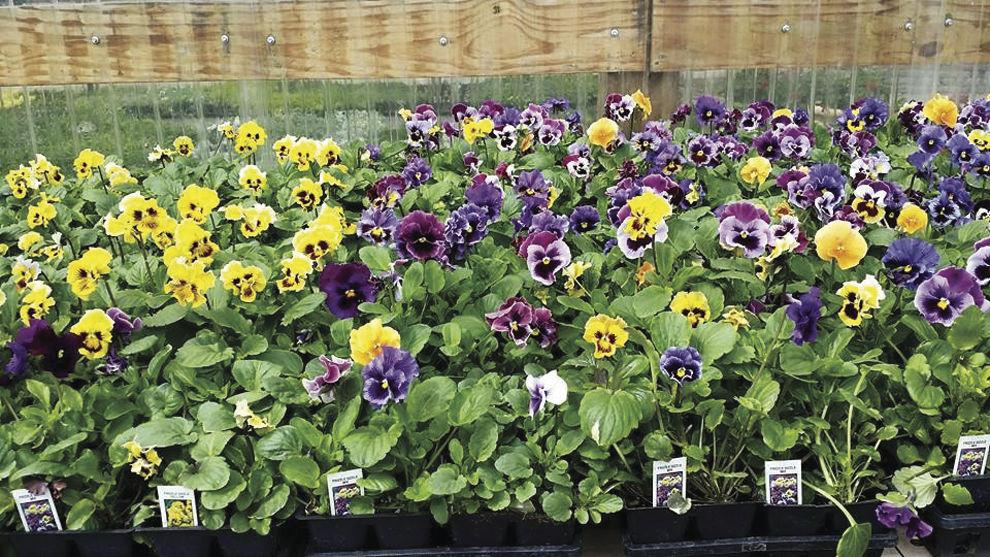 Flower power at Home Garden Flower show | Local News ...