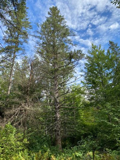 National champion white spruce remains healthy