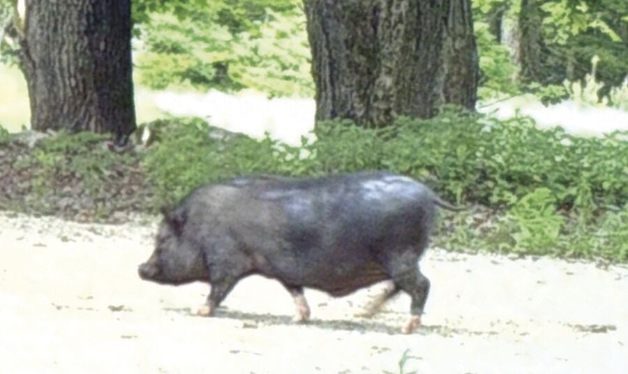 Potbellied Pig Ossipee