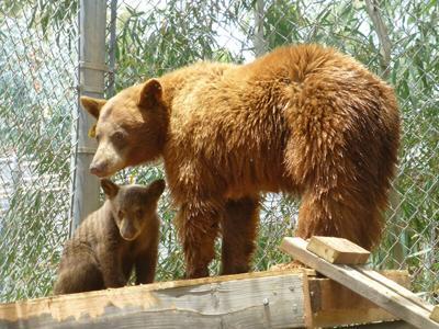 bb-bears