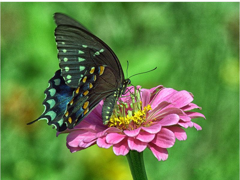 Floyd-Butterfly1-800x600.jpg