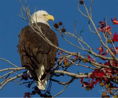 Eagle Capital of Texas Readies for Annual Festival