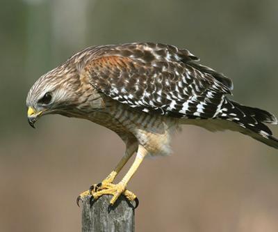 Northeast Texans Enjoy Hawk Patrol