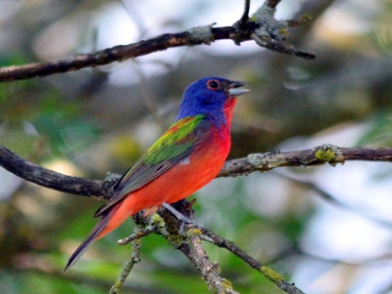 Painted_Bunting_800x600