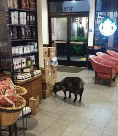 Goat Walks Into Starbucks