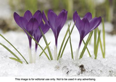 Early Blooming Spring Flowers Editor S Pick Crescent News Com