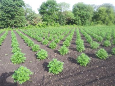 Early hemp