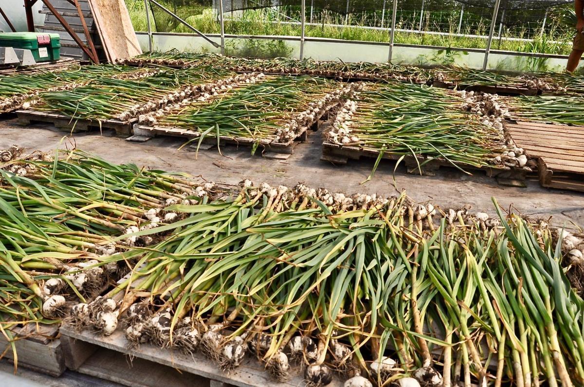 Aging garlic