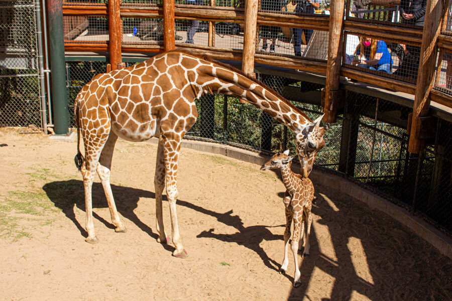 Cheyenne mountain zoo, Giraffe