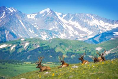 North,American,Elks,On,The,Rocky,Mountain,Meadow,In,Colorado,