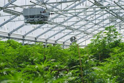A,Medical,Research,Marijuana,Farm