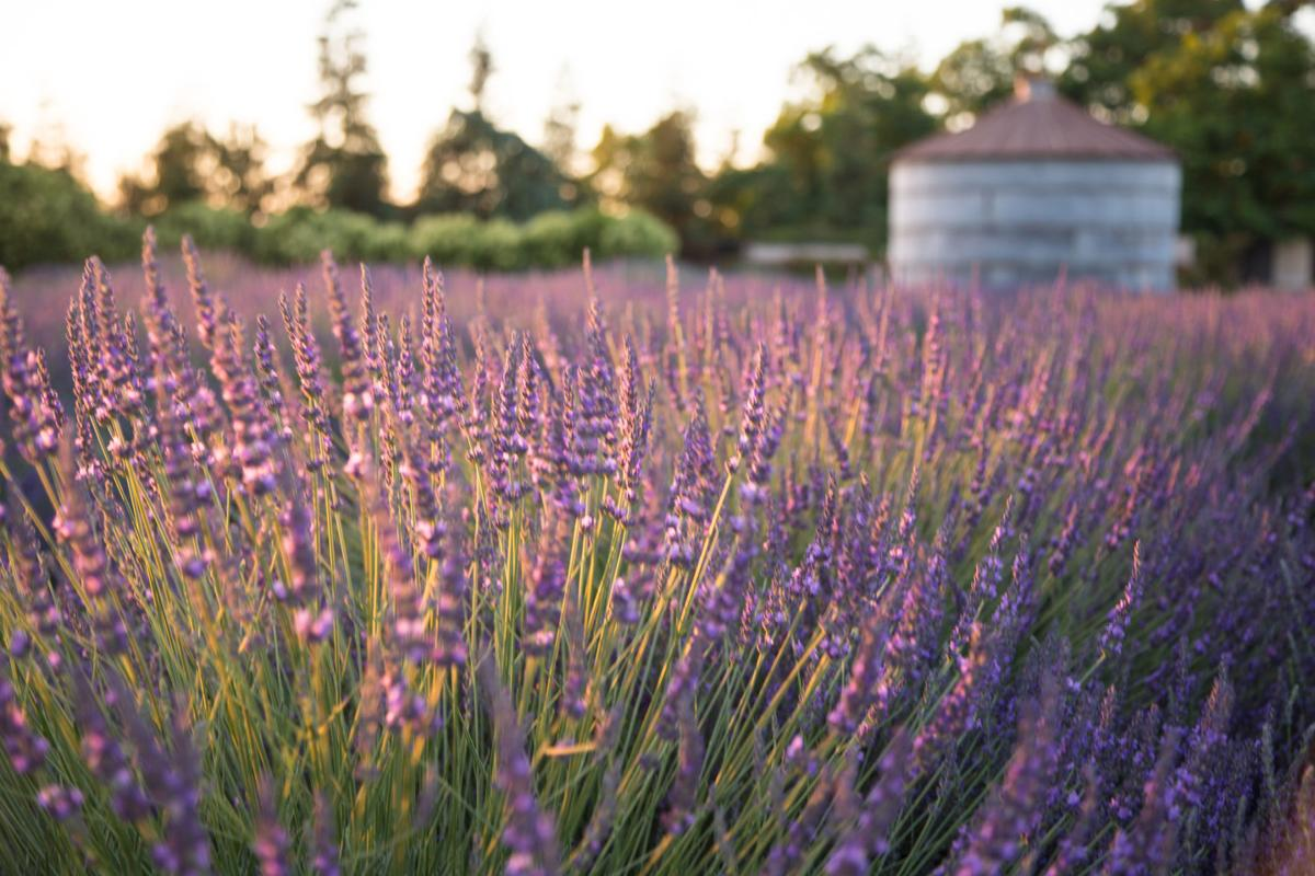 Mother's Day idea: Pageo Lavender Farms | Neighborhood