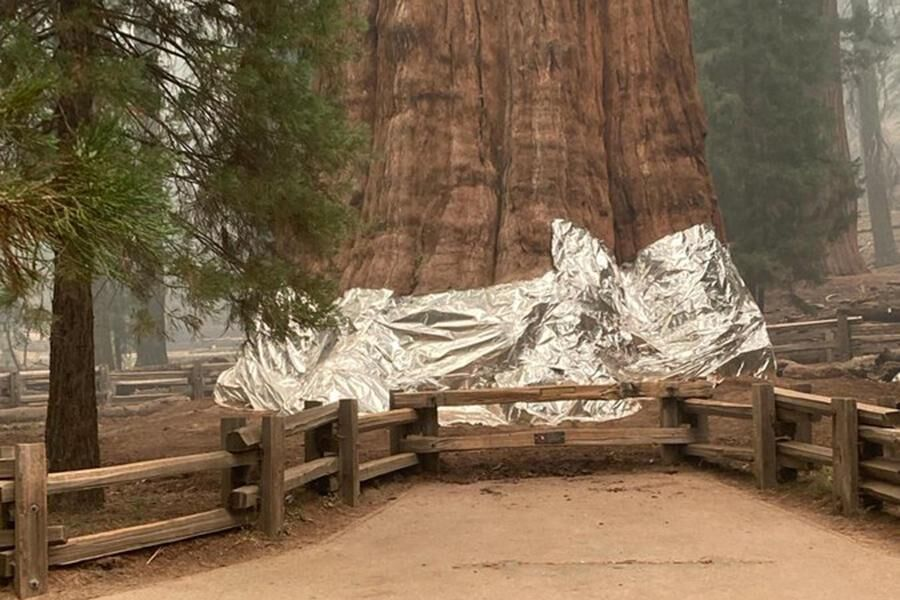 Firefighters Protect Largest Tree in the World, the General Sherman Tree, With Fire Resistant Tin Foil in Anticipation of the Advance of the KNP Complex Fire