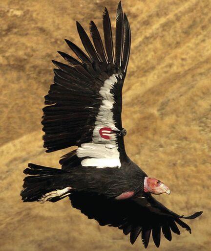 condor flies