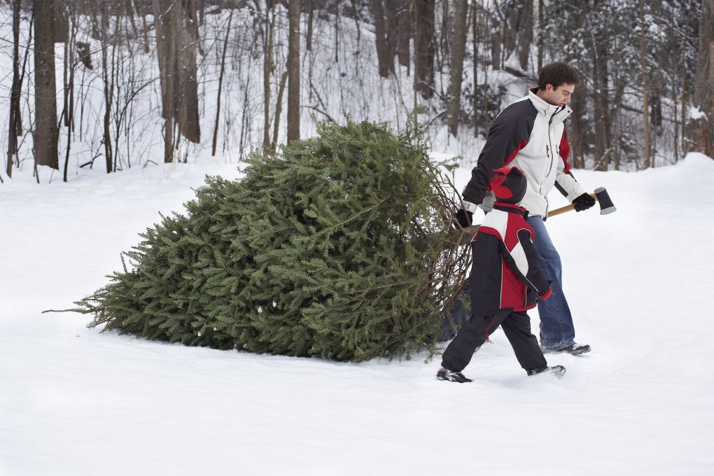 Christmas: Holiday tree cutting permits