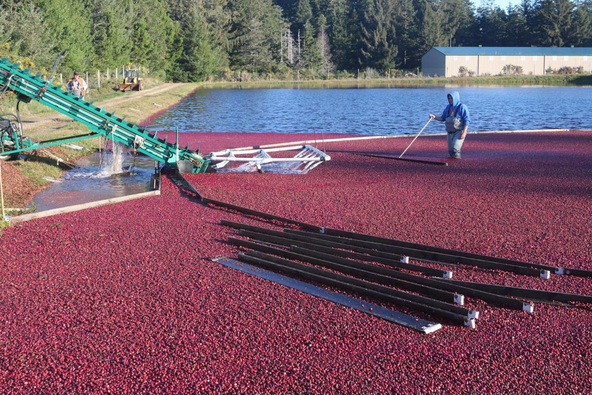 Lassoing Cranberries