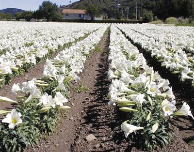 95% of world's lilies grown in Brookings -Smith River area11x14.jpg