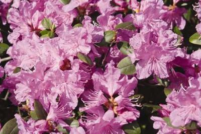 Brookings gearing up for 81st-annual Azalea Festival