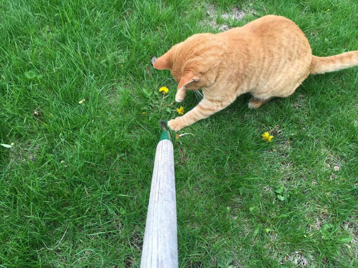 Ginger and weed digger April 29 2021