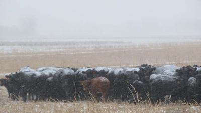 Cattle cows winter snow USDA public domain photo