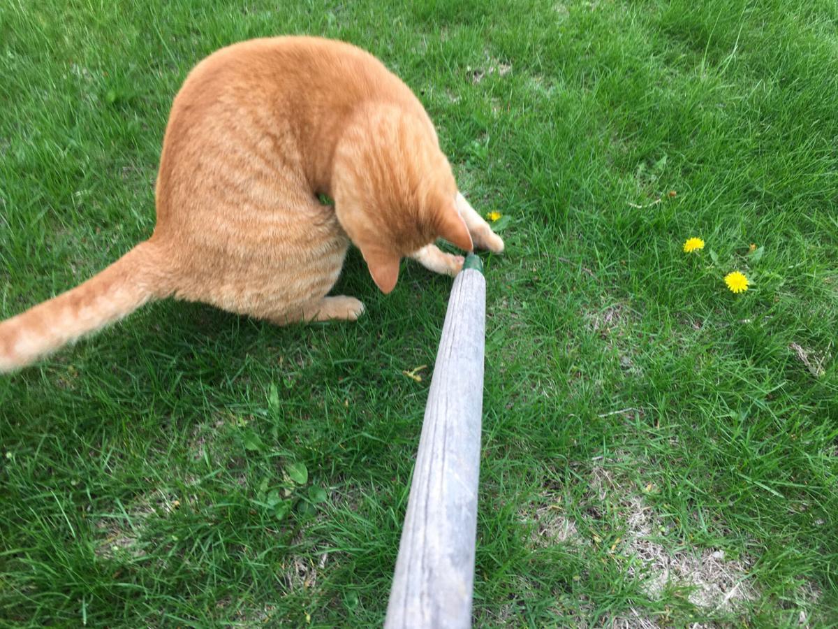 Ginger attacking weed digger April 2021