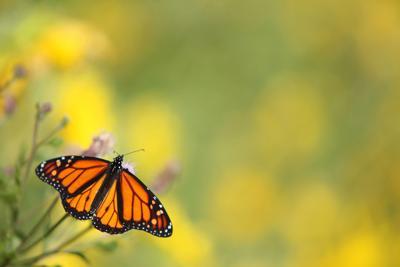 Monarch butterfly generic