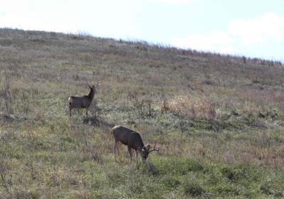 Mule deer, Custer County, Neb. Oct. 2019