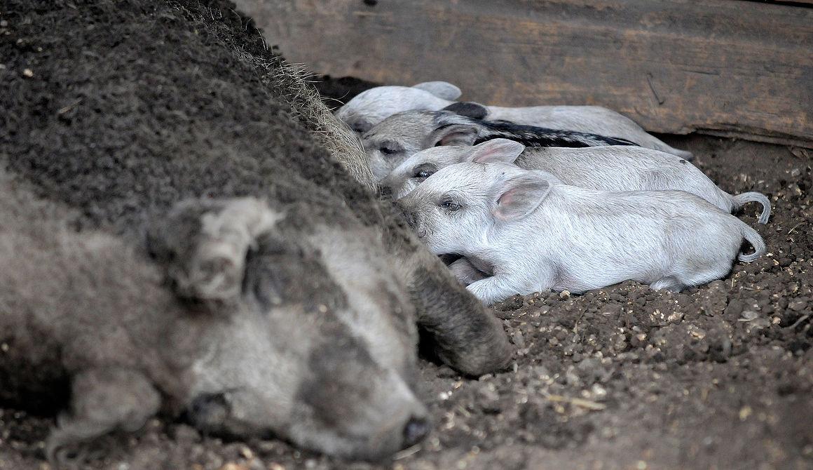 Mangalitsa piglets