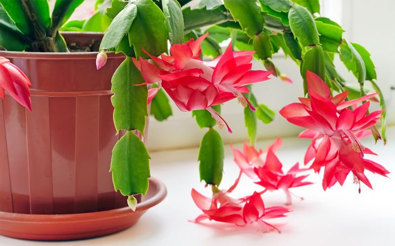 Care For Your Christmas Cactus