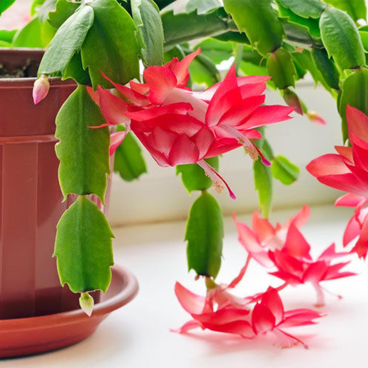 Christmas Cactus Bloom.Care For Your Christmas Cactus Home Garden Daily