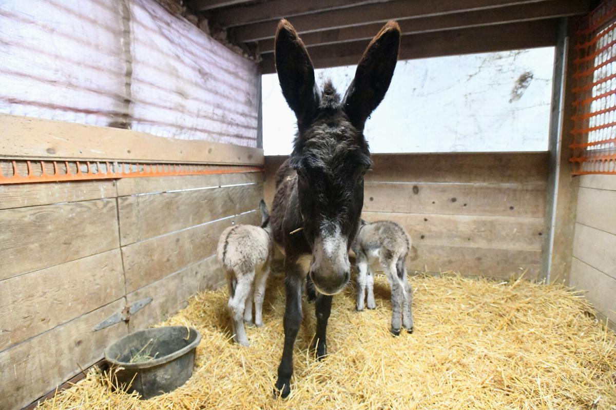Twin donkeys
