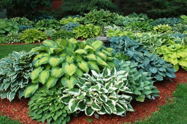 Is It Too Late To Transplant Hostas Life Daily Journalcom