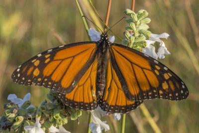 Monarch butterfly by Chris Helzer.jpg
