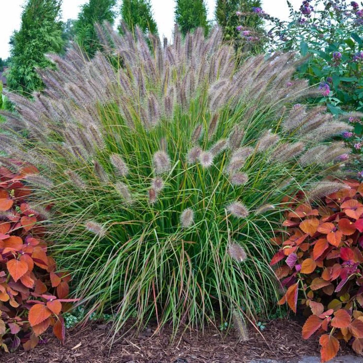 When Should I Cut Back Ornamental Grass Home Garden Daily