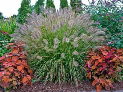 When Should I Cut Back Ornamental Grass Home Garden Daily