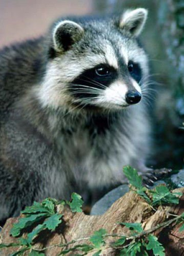 Image of: Florida Raccoon American Animal Control Llc Raccoon Calls Up Lately Local News Dailyjournalcom