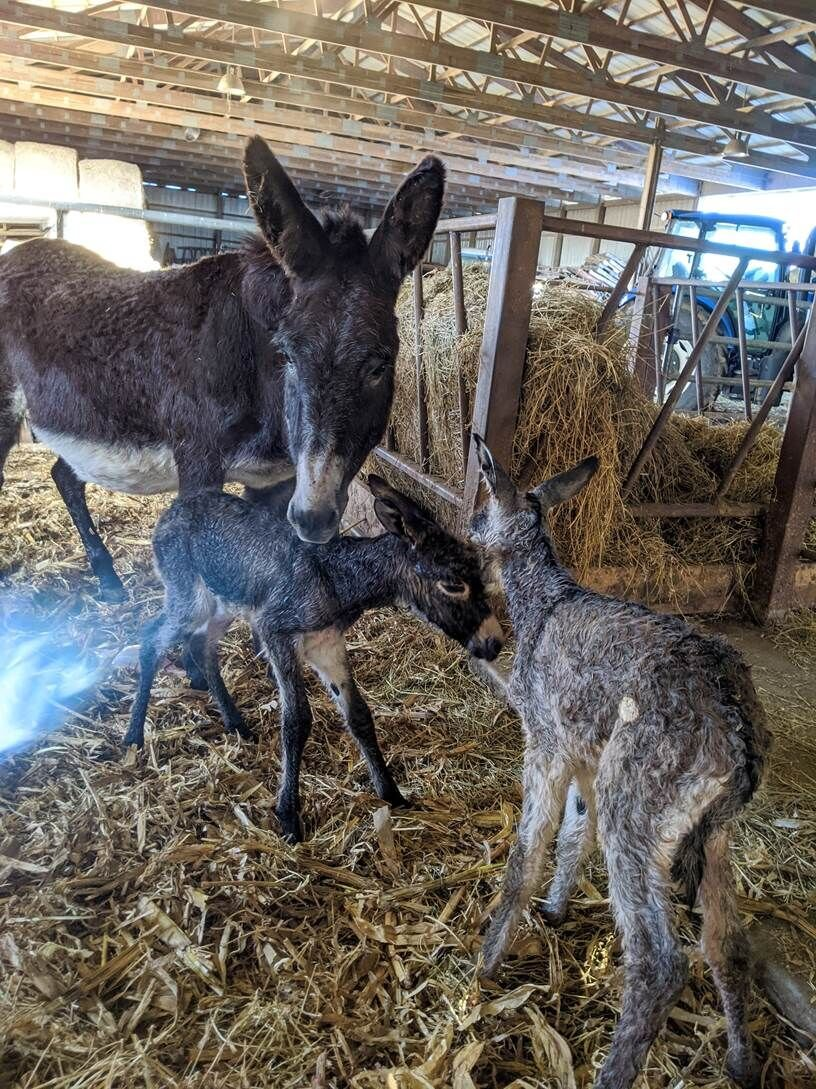 Onarga farm donkeys