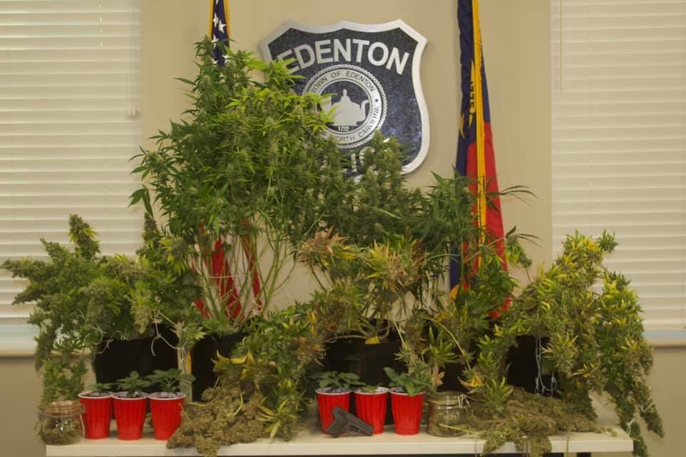 Seized marijuana plants